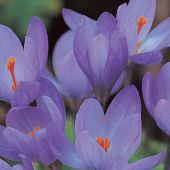 Crocus (Fall Flowering)