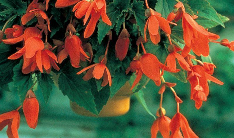 Begonia Pendula type / Hanging basket Begonia