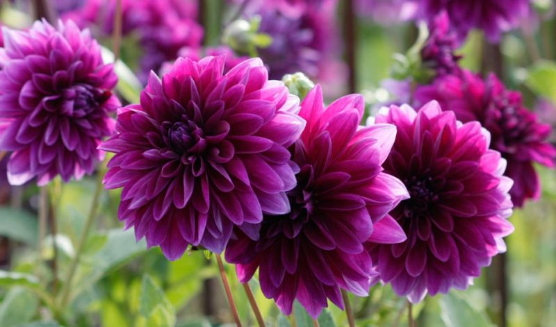 Dahlia Decorative type