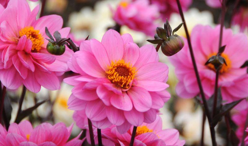 Dahlia Peony-flowering type