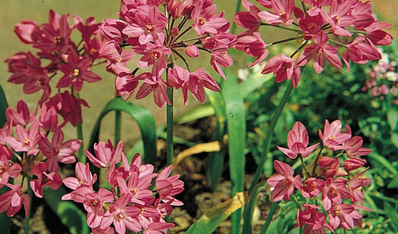 Allium oreophilum / Allium ostrowskianum