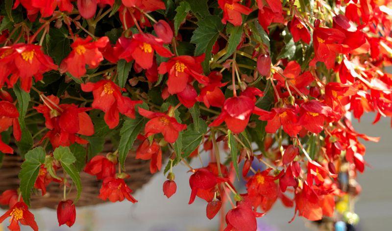 Begonia Bertini