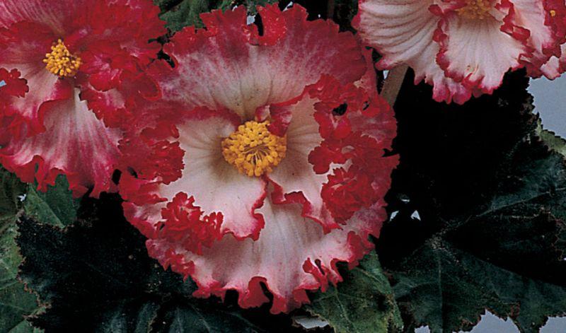 Begonia Crispa Marginata type