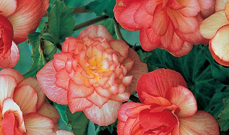 Begonia Double bicolor hybrids