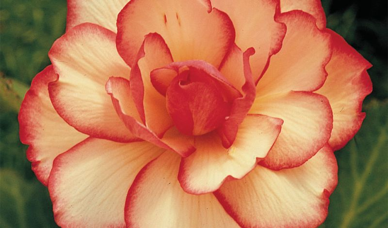 Begonia Picotee Lace type