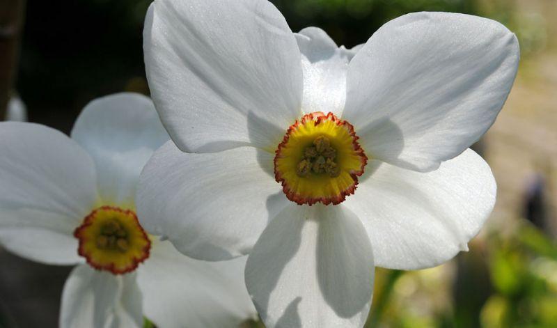 Narcissus Poeticus type