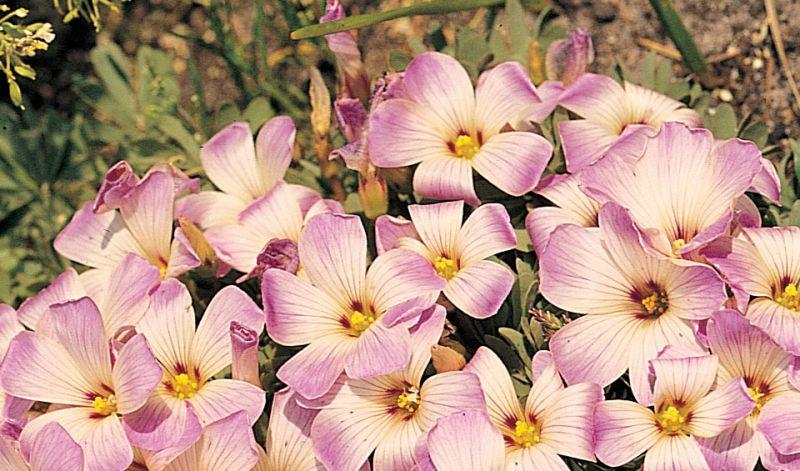 Oxalis adenophylla