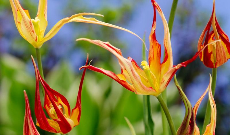 Tulipa acuminata / Tulipa cornuta / Tulipa stenopetala