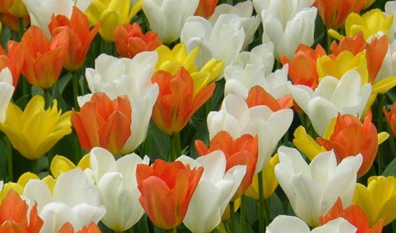 Tulipa Fosteriana group