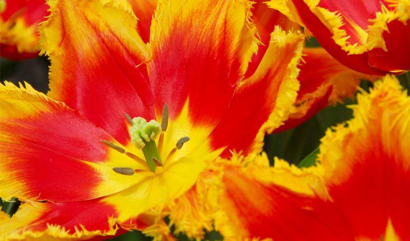 Tulipa Fringed group