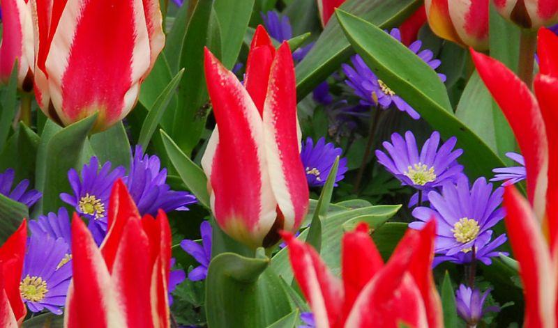 Tulipa Greigii group