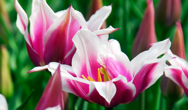 Tulipa Lily-flowered group