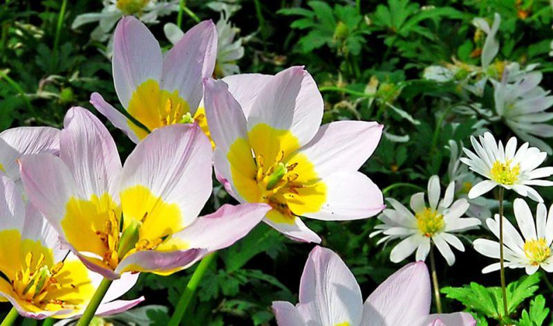 Tulipa Miscellaneous