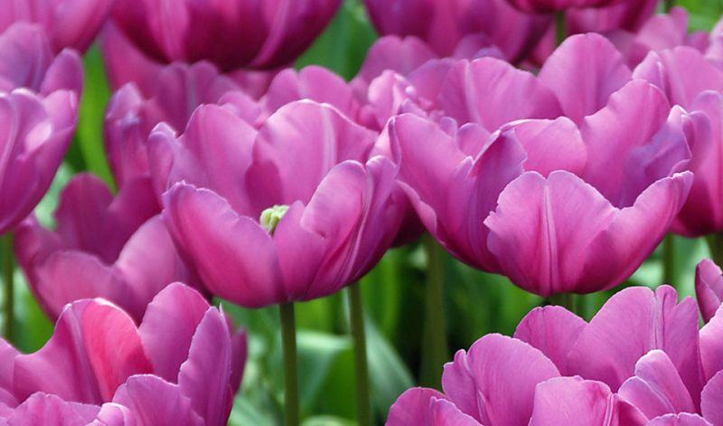 Tulipa Single Early group