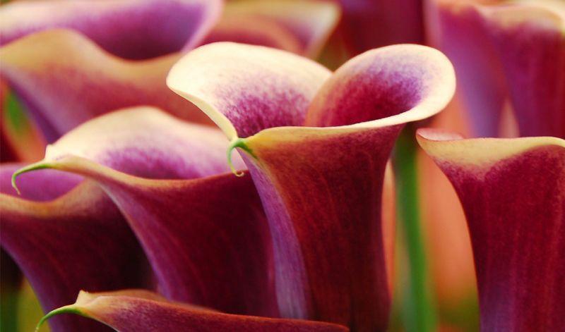 Zantedeschia hybrids