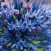 Allium caeruleum / Allium azureum