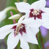 Acidanthera Murielae / Gladiolus callianthus Murielae