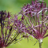 Allium christophii / Allium albopilosum