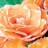 Begonia Picotee type