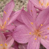 Colchicum cilicicum