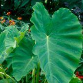 Colocasia esculenta
