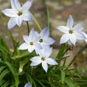 Ipheion uniflorum / Triteleia uniflorum / Brodiaea uniflorum
