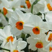 Narcissus Tazetta type