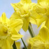 Narcissus Trumpet type