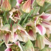 Nectaroscordum siculum / Allium siculum / Nectaroscordum siculum spp bulgaricum