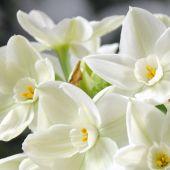 Paperwhite Narcissus / Narcissus Tazetta type