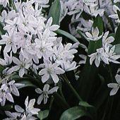 Puschkinia libanotica / Puschkinia scilloides