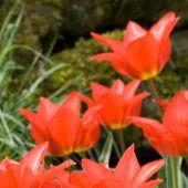 Tulipa eichleri
