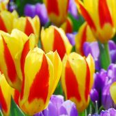 Tulipa Kaufmanniana group