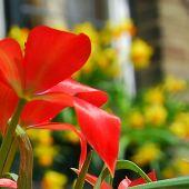 Tulipa linifolia / Tulipa batalinii