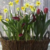 Potted Bulbs - Calla Lilies, Daffodils & Tulips