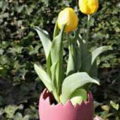 Potted Bulbs - Tulips