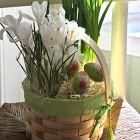 Indoor Potted Bulbs - Daffodils & Crocu